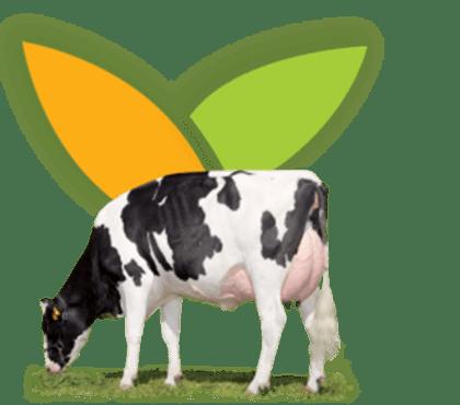 Aliment vache laitière